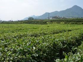 紫阳富硒茶近年来获得的荣誉