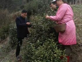 2017年紫阳县采茶季到来 零星茶园开始采摘