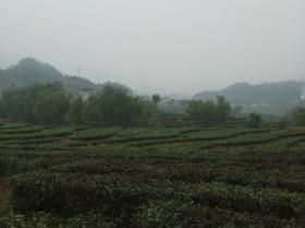 紫阳富硒茶属于什么茶种?