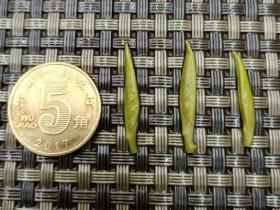 紫阳银针冲泡后茶根与五角硬币对比