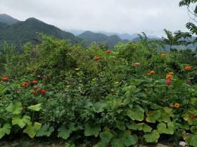 紫阳县是我们最北端的产茶区吗?
