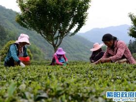 紫阳新闻:春茶生产拉开序幕
