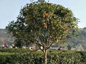 紫阳县:新茶园模式带动群众致富