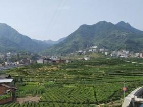 紫阳县高桥镇掀起万亩茶园2018秋季管护热潮