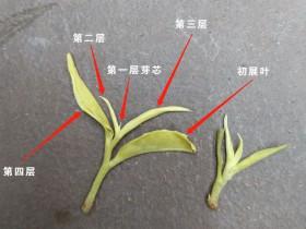 紫阳富硒茶毛尖绿茶鉴别方法之一:芽头层数