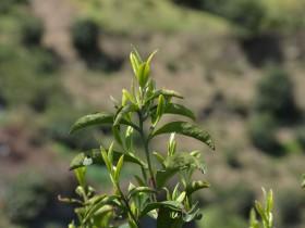 紫阳富硒茶老茶园老茶树写意图集