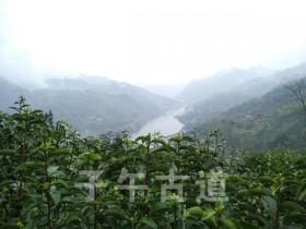 紫阳县焕古镇举行首届紫阳毛尖传承手工制茶大赛