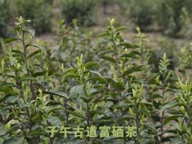 紫阳富硒茶入选农业农村部农产品地理标志登记产品公示名单