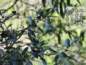 紫阳县有野茶树吗?