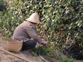 紫阳最矮的茶树大概多高?