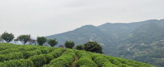 加快项目建设 献礼建党百年——紫阳:打造茶马古道文化旅游区 推动茶旅深度融合发展
