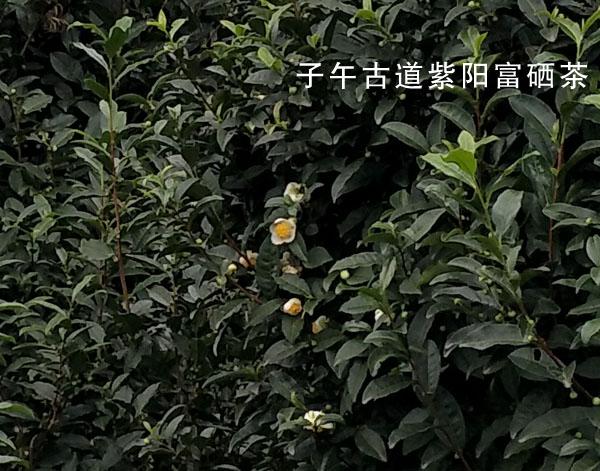 蒿坪茶植株形态及原料介绍